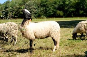 moutons_photo1