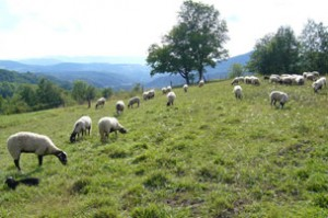 moutons_photo2